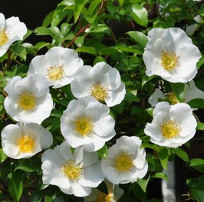 ROSA LAEVIGATA ROSE Climbing single pure white flowers plant in 140mm pot