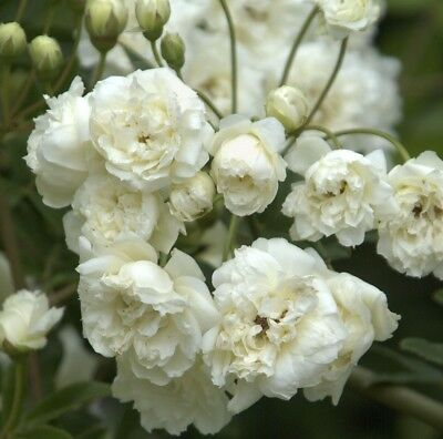 WHITE BANKSIA ROSE Climbing double white rosette flowers plant in 175mm pot