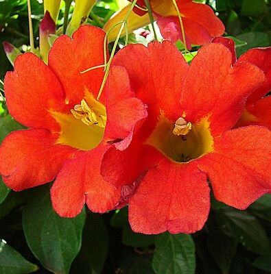 MEXICAN BLOOD VINE Distictis buccinatoria red trumpet flowers plant 175mm pot