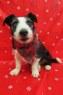 Dogs Christmas Red Holly Bandana a gift from Father Woofmas by Mrs Nibbles