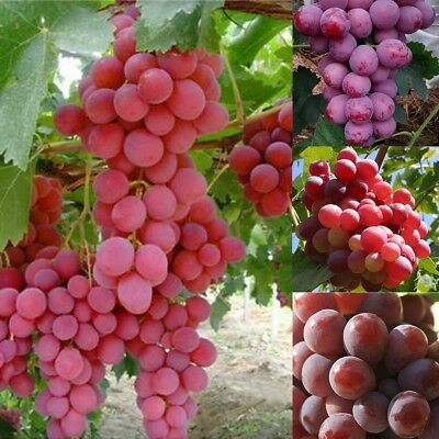 Giant Red Grapes Seeds Fruit Bonsai Vine Plant Home Garden Decoration 13 Pcs
