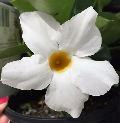 ILLUSIONS WHITE Mandevilla amabilis medium-size flowers, compact plant 140mm pot