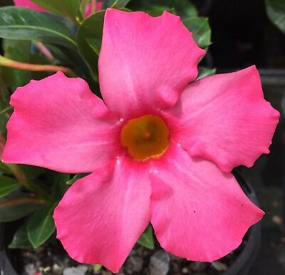 ILLUSIONS PINK Mandevilla amabilis medium-size flowers, compact plant 140mm pot