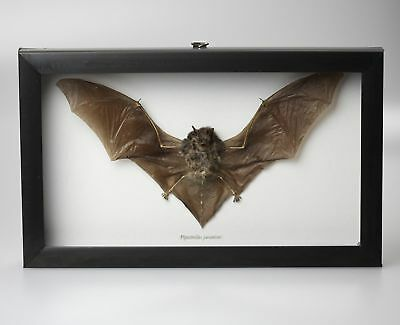 Museum Quality Dried Java Bat Insect Taxidermy Collectible Pipistrellus Javan...