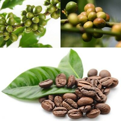 100Pcs Coffea Arabica Seeds Coffee Bean Tropical Tree Seeds Coffee Tree Seed