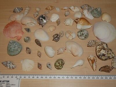 50 assorted sea shells seashells crafts