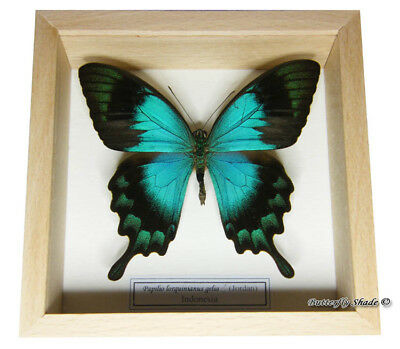 REAL MOUNTED FRAMED BUTTERFLY - Papilio lorquinianus - SEA GREEN SWALLOWTAIL