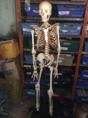 Life Size Human Skeleton Model &Stand Medical Anatomically correct. Articulated