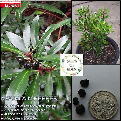 15 MOUNTAIN PEPPER SEEDS(Tasmannia lanceolata); Australian Native shrub