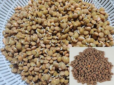Lentil Red Sprout seeds ( Sprouts, Cook, Sprouting seeds )
