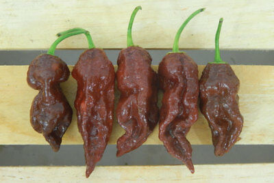 Hot Chilli Bhut Jolokia - Chocolate (10 Seeds)