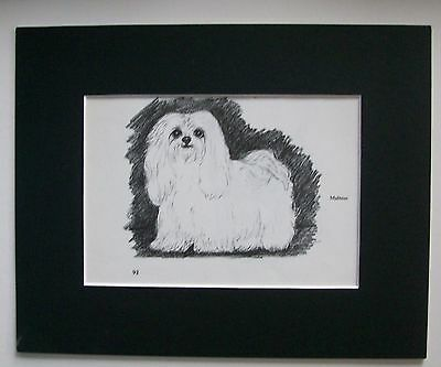 Maltese Dog Print Gladys Emerson Cook Bookplate 1962 8x10 Matted Real Cutie