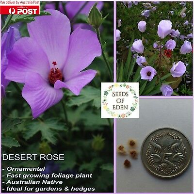 DESERT ROSE SEEDS(Alyogyne hakeifolia); Fast growing native plant