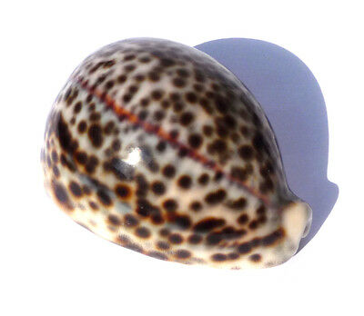 "Superb HUGE 86mm 3.4"" SEASHELL CYPRAEA TIGRIS SCHILDERIANA TIGER COWRIE A***"