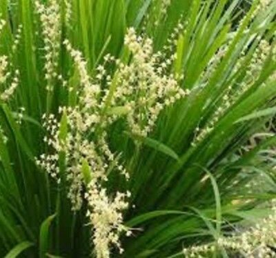 6 x Lomandra hystrix Slender Mat Rush native grass plants in 75mm pots