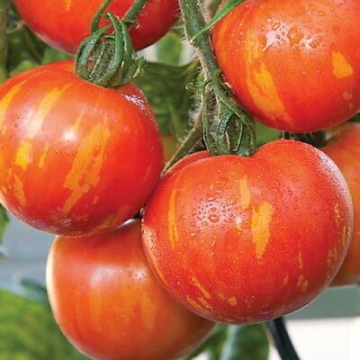 Tomato Tigerella (25 Seeds)