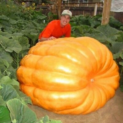 20/pcs Giant Pumpkin Seeds Super Pumpkins Seeds Vegetable Seed