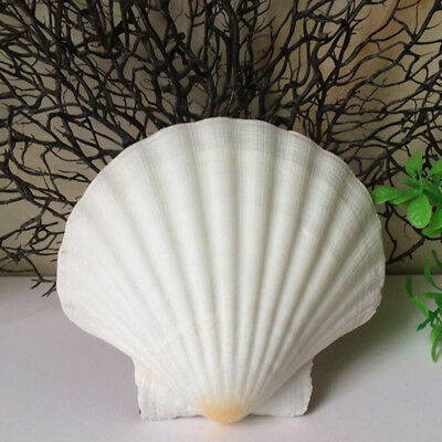 Large Scallop Shells 9-12cm Prepared to Food Standards 1-36
