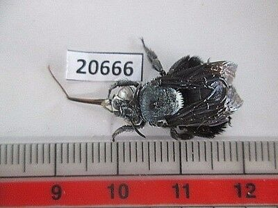 20666.Unmounted insects, Hymenoptera. South Vietnam.