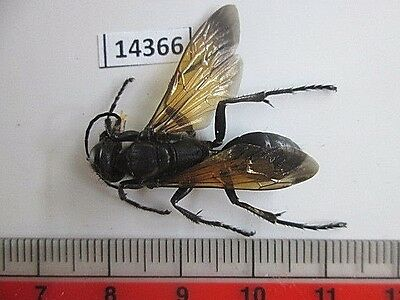 14366.Unmounted insects. Hymenoptera. South Vietnam.
