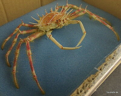 krebs crab taxidermy - maja spinigera XL 218 mm rare deep water super color !