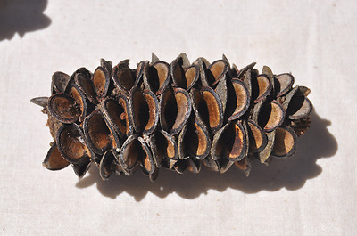 Banksia Pods - Australian Native Craft Supplies, Banksia Seed Pods