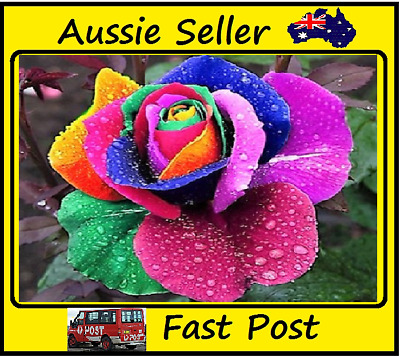 Rainbow Rose Seed Rose Seeds Beautifull Flower 50 Seed Lots