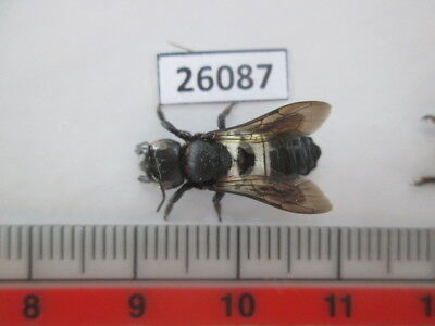 26087.Unmounted insects,Hymenoptera. From South Vietnam.