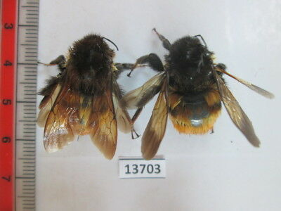 13703.Unmounted insects, Hymenoptera. From South Central Vietnam