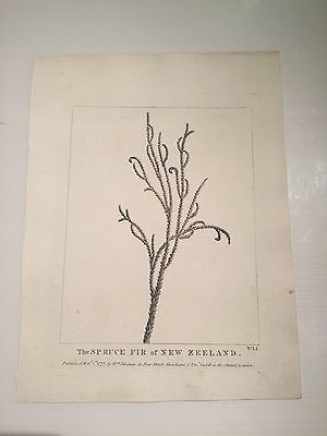Rare First Edition 1784 Captain Cook ' The Spruce Fir of New Zeeland ' - VR