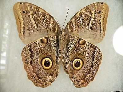 "REAL ""Giant Owl"" CALIGO Braziliensis Brazil FRAMED BUTTERFLY  Moth INSECT"