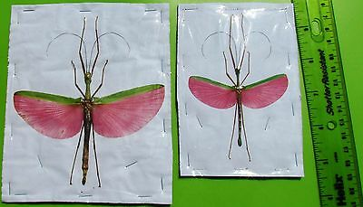 Lot of 5 Rose Winged Flying Stick Bug Marmessoidea rosea Pair FAST FROM USA