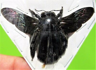 Uncommon Tropical Carpenter Bee Xylocopa latipes Spread FAST SHIP FROM USA