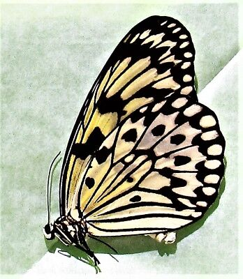Paper Kite / Rice Paper Butterfly Idea leuconoe obscura Papered FAST FROM USA