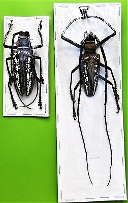 Wallace's Long-horn Beetle Batocera wallacei Pair Large FAST SHIP FROM USA