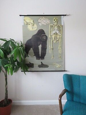 Vintage Jung Koch Quentell Pull Roll  Down German School Wall Chart Of Gorilla