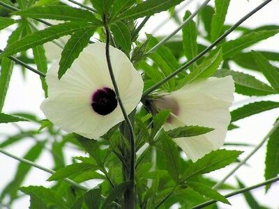 100 Graines chanvre de Bombay 'Hibiscus cannabinus' Kenaf, vegetable kenaf seeds
