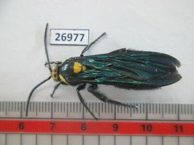 26977.Unmounted insects, Hymenoptera. South Vietnam