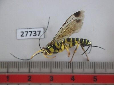 27737. Insects; Hymenoptera. From South Vietnam