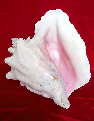 Fab OLD Very LARGE OCEAN SEASHELL QUEEN CONCH Strombus Gigas PINK INTERIOR