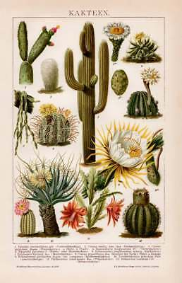 CACTUS CACTI SAGUARO FLOWERS Lithograph 1892 old historical german antique print