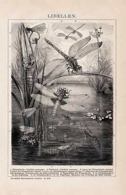 DRAGONFLY NYMPH DAMSELFLY Engraving 1892 old historical german antique print