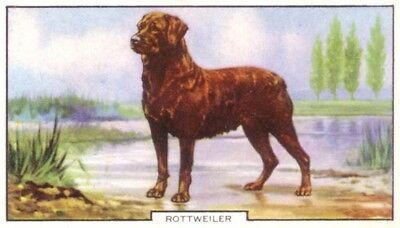 DOG Rottweiler, Colorful Trading Card, 1930s