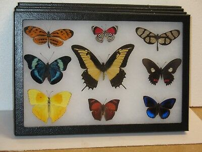 Real framed Butterfly collection # 5