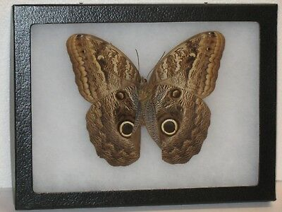 Real framed Owl Butterfly from Peru