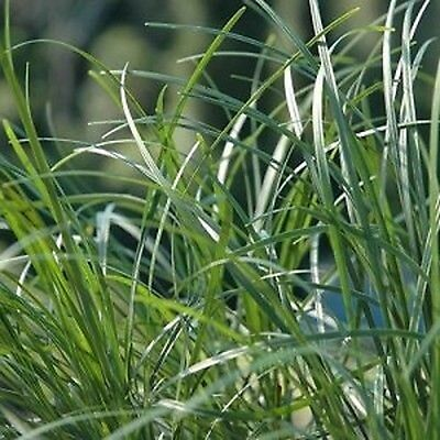 20 x TALL MONDO GRASS Ophiopogon japonicas ornamental border plants in 40mm pots