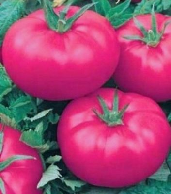 Seeds Tomato Dar Zavolzhya Pink Large Vegetable Organic Russian Ukraine