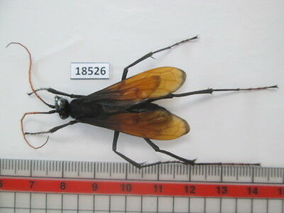 18526.Insects: Hymenoptera, Pompilidae. From South Vietnam