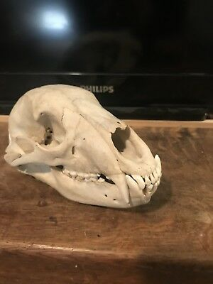 Real Large Antique Animal Skull Taxdermy Rare