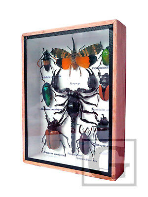 Real Butterfly Insect Bug Taxidermy Display Framed Box Small Set Gift FS gpasy